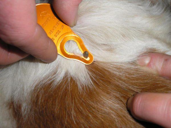 Народные средства от клещей для собак